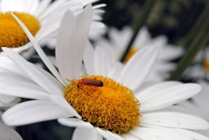 a daisy and a bug by LucieG-Stock