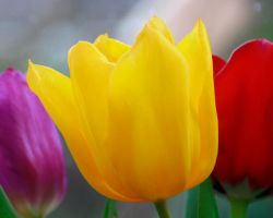 tulips by formbyjim