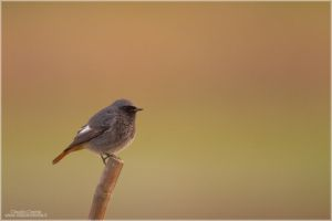 Common Redstart by ClaudeG