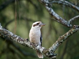 Laughing Kookaburra by FireflyPhotosAust