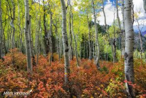 White Aspens in Red Carpet by mjohanson