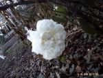 White Rose Full Bloom by Poison-Stripes