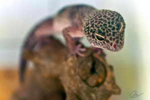 Leopard Gecko by cheslah