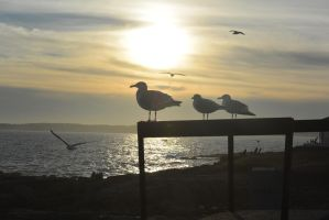 Seagulls Silhouette 2 by Miss-Tbones