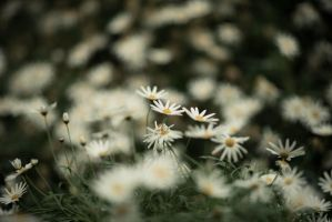 Little white flowers by feria233