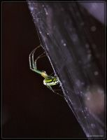 Orchard Spider 40D0042172 by Cristian-M
