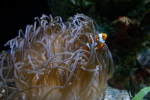 Clown fish in its home by nwalter