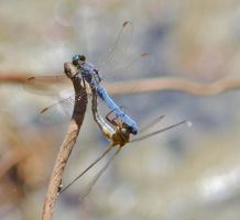 Dassia dragonfly August 2014 8 6 by melrissbrook