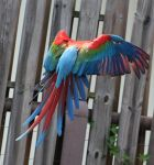 Bird Stock 16: Scarlet Macaw Wings by HOTNStock