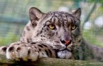 Snow Leopard by mansaards