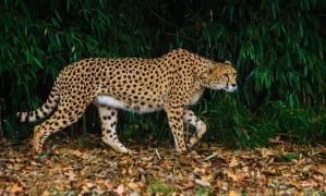 cheetah649 by redbeard31