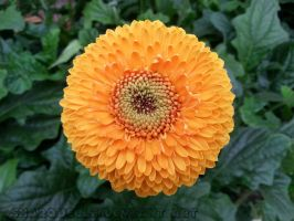 Orange Gerbera by Sharquelle