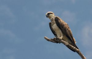 Australian Osprey, Pandion haliaetus by piemagon