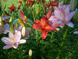 Pink Red Asiatic Lily 1 by racheltorres921