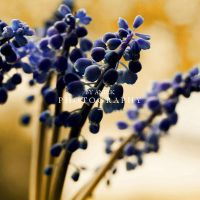 Lavender. by AniekPhotography