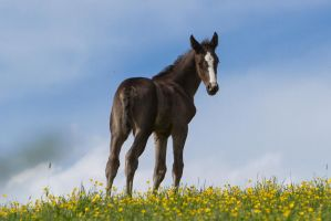 WB Foal Turning Head Stock by LuDa-Stock