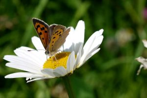 small copper by HumbleBeez