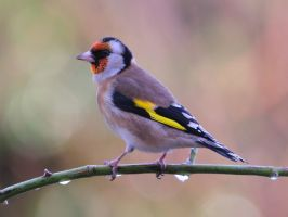 Goldfinch Returns by WestLothian