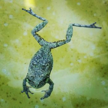 Frog in the pool by FaireQueen