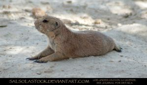 Prairie Dog 2 by SalsolaStock