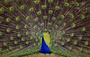 Peacock 2 - colour by that-moody-artist