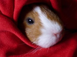 Rebeca my guinea pig by MayRoco