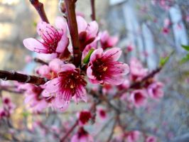 Chinese Peach Blossoms by DVanDyk
