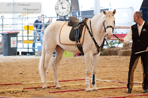 Cremello Lusitano_13 by CalyHoney