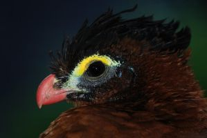 Nocturnal Curassow by robbobert
