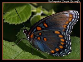 Red-spotted Purple Butterfly 2 by boron