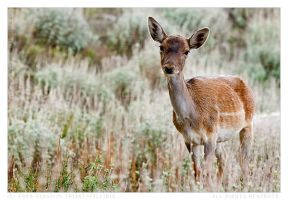 Young Fallow Deer 1 -Female by LemnosExplorer