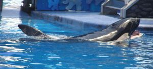 Killer Whale at Seaworld by shiningstar25