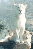 White Lion (1) by dhaval8341