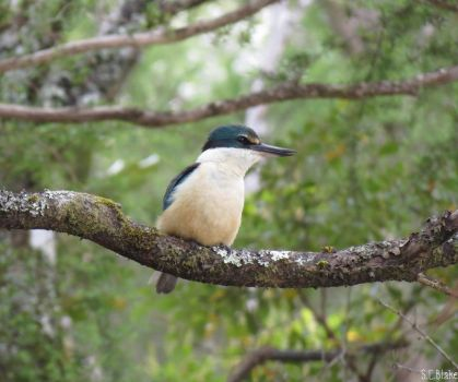 sacred kingfisher by kiwipics