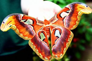 Giant Alas Moth by bexa