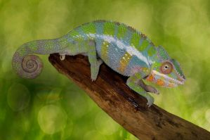 Chameleon and bokeh by AngiWallace
