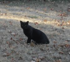 Black Cat in the Middle of the Dying Grass by Miss-Merlina