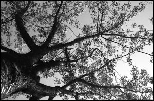A tree from below by phc