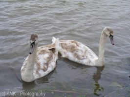 Swans by KNK-Photography