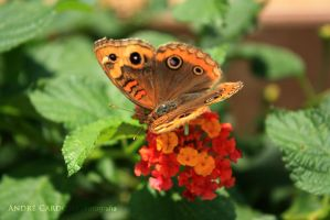 Butterfly by Almirith7