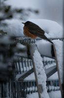 Robin2 -Turdus migratorius- by PyroDenny16