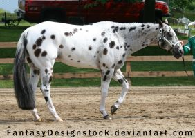 Appaloosa 99 by FantasyDesignStock