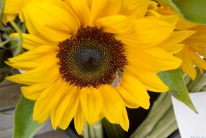 October 2014, Local Farm Stand Sunflower by Miss-Tbones