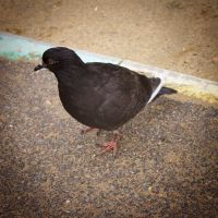 pigeon by weryvall