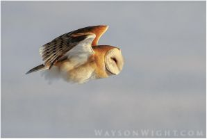 Barn Owl Hunting by tourofnature