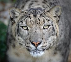 Look into my eyes!  -  Snow Leopard Portrait by Manu34