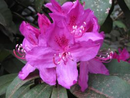 Purple Rhodies by The-Brade