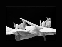 Orchids black and white by onelook