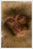 Japanese Macaque - 7889 by eight-eight