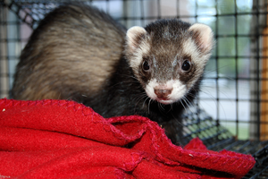 Ferret Stock 1 by Jaded-Night-Stock